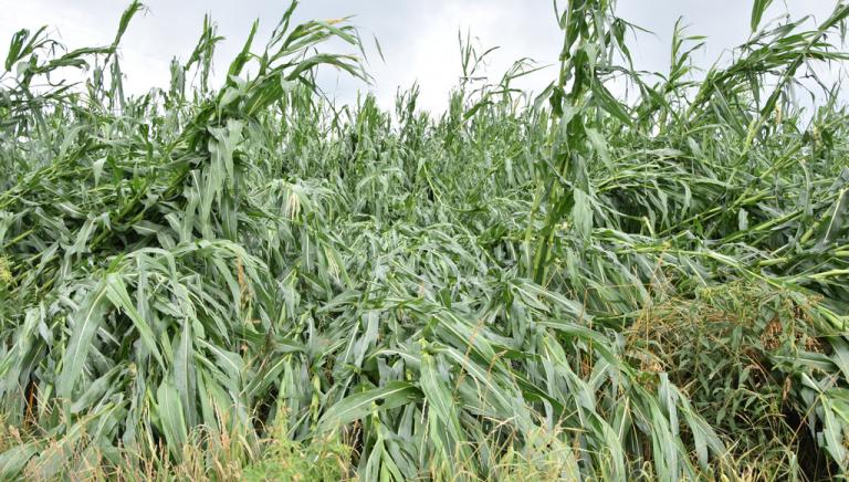 Zdjęcie główne newsa: Wnioski dla rolników o oszacowanie strat w gospodarstwie. Informacja ARiMR o tzw. kredytach klęskowych
